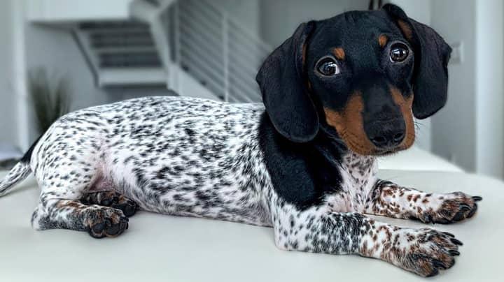 Dachshund Puppy Looks Like Mini Dalmatian Or Cow Due To Piebald Fur