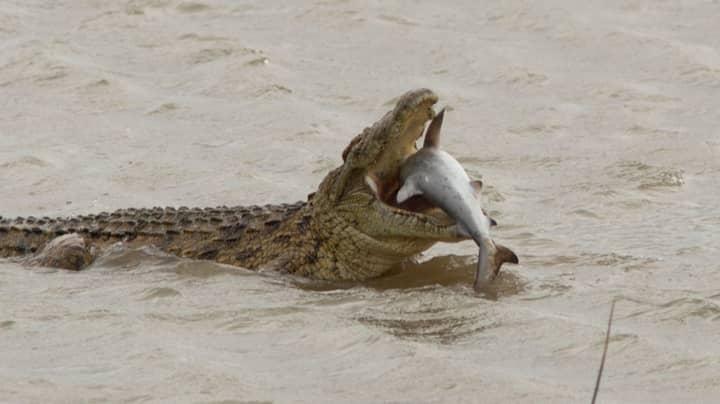 Photographer Captures Moment Huge 1,500lb Crocodile Eats Shark