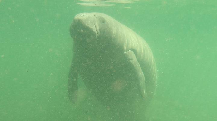 Manatee Found With 'TRUMP' Etched Into Its Back Sparks Federal Investigation