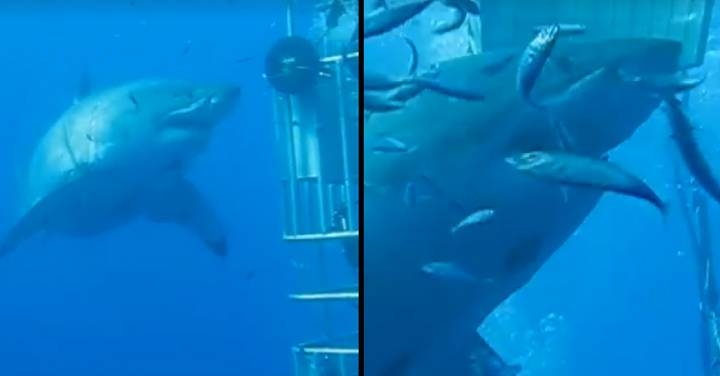Deep Blue Is The Largest Ever Great White Shark Caught On Camera