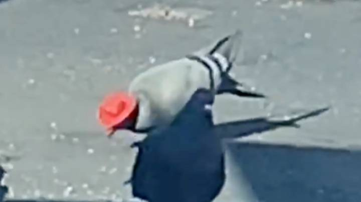 Animal Rescue Organisation Trying To Track Down Pigeons With Little Cowboy Hats