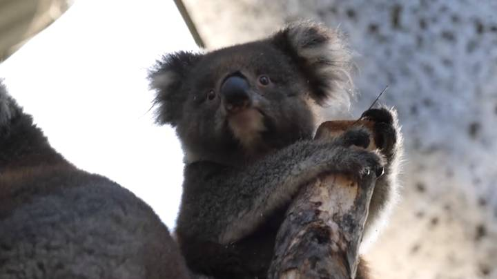 Koalas Released Back Into Their Home After Australia's Devastating Bush Fires