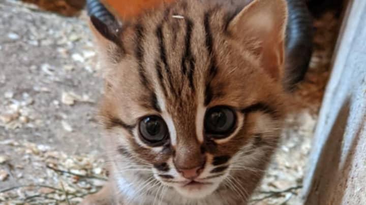 Pair Of World's Smallest Wild Cats Born In UK Sanctuary