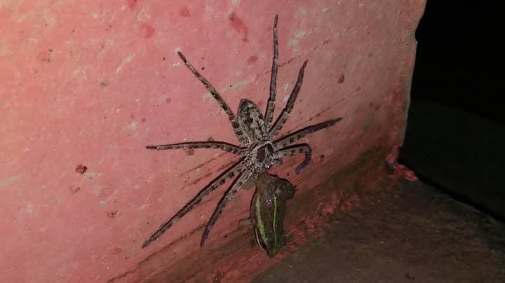 Huge Spider Filmed Dragging Frog To Its Death In Man's Bathroom
