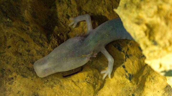 Rare Salamander Didn't Move For More Than Seven Years, Study Finds
