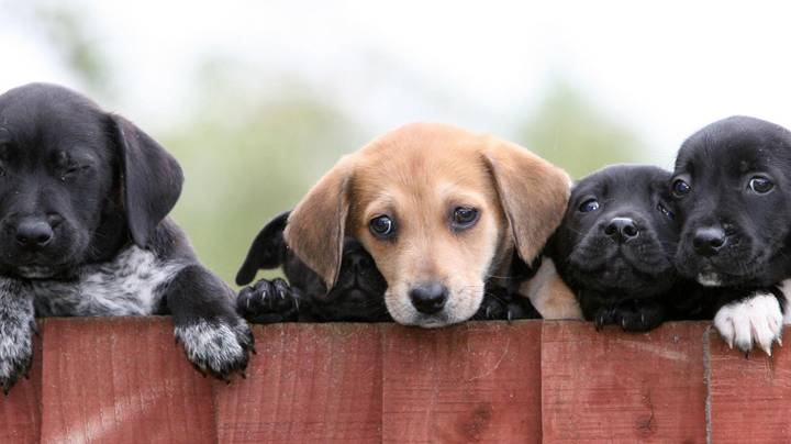 Labrador Wins Britain's Top 100 Dog Breeds, As Voted For By The Public