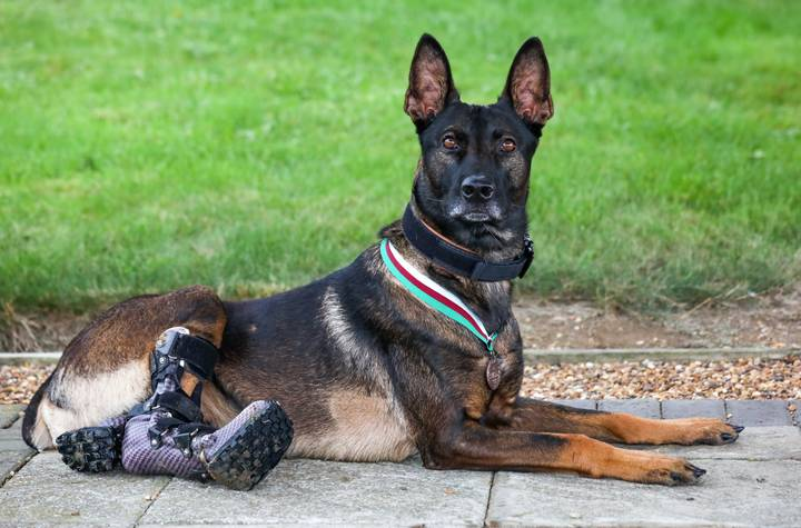 Military Dog Awarded Animals' Victoria Cross For Tackling Al-Qaeda Insurgents