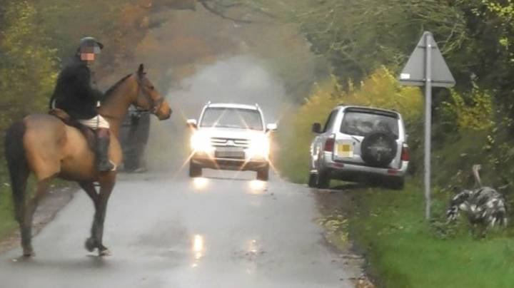 Huntsman Chased Up And Down Road By Huge Bird