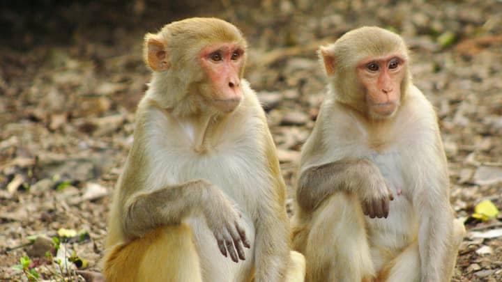 Eighteen Monkeys Infected With 'Coronavirus' In Bid To Find Cure