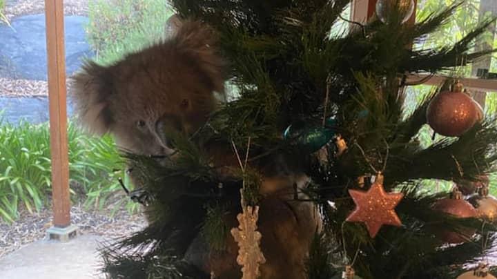 Koala Found Living In Australian Family's Christmas Tree