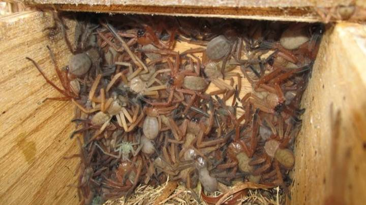 Rare Photo Shows A Writhing Colony Of Huntsman Spiders In Australia