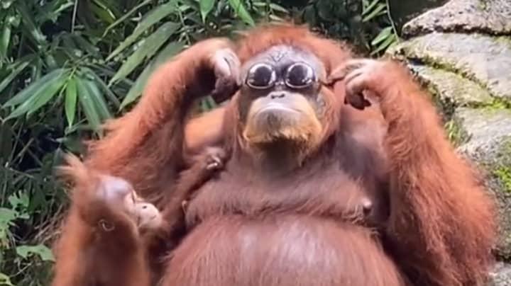 Orangutan Tries On Sunglasses After Tourist Drops Them At Zoo