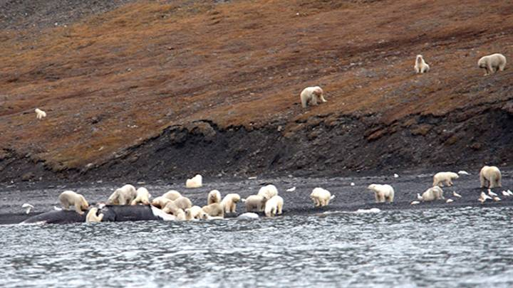 One Percent Of World's Polar Bear Population Gathers For Feast