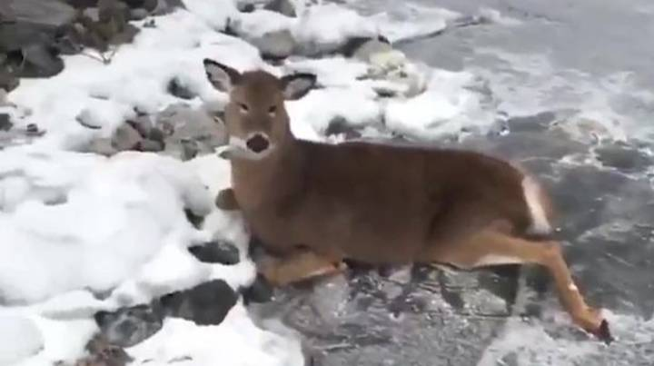 Ice Skater Risks His Own Life To Save Family Of Deer