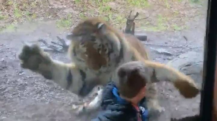 Dad Films Tiger Attempting To Attack His Son At Dublin Zoo