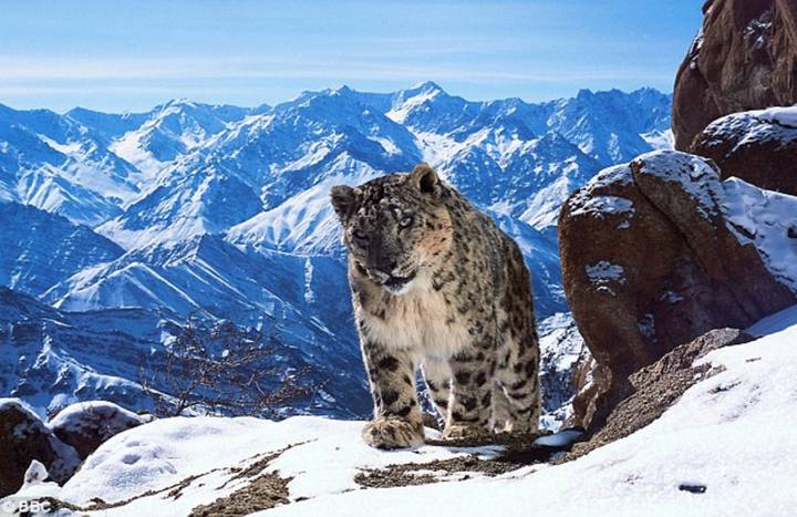 Holy Moley: That Scene On 'Planet Earth 2' With The Snow Leopards Was Insane