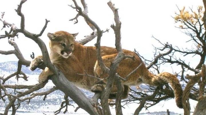 Man Who Choked Mountain Lion To Death 'Did What He Had To Do' After 'Survival Instinct' Kicked In