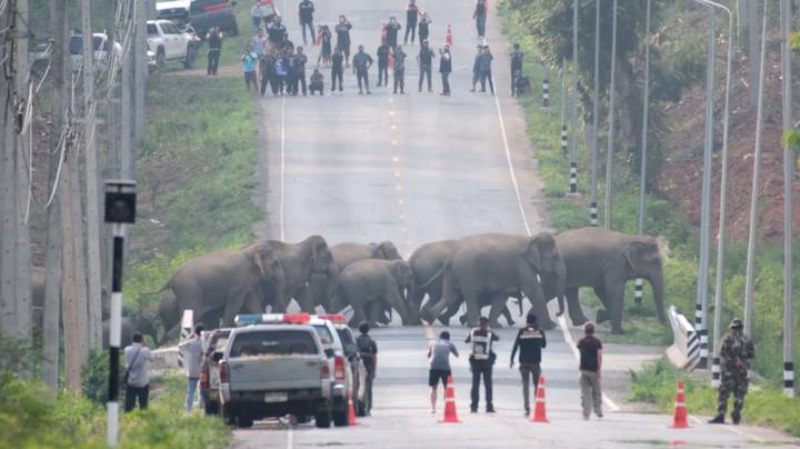 Herd Of 50 Elephants Filmed Calmly Crossing The Road In Thailand