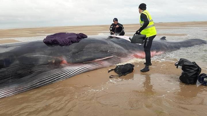 Whale Washes Up On British Estuary Twice In 24 Hours