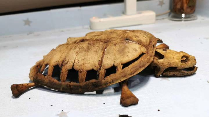 Student Returns To Wuhan Dormitory To Find Skeletal Remains Of Pet Turtle