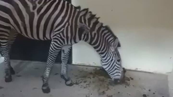 Footage Shows Suffering Zebra 'Eating Its Own Faeces' In Zoo