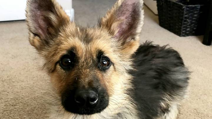 Adult German Shepherd With Rare Condition Looks Like Puppy