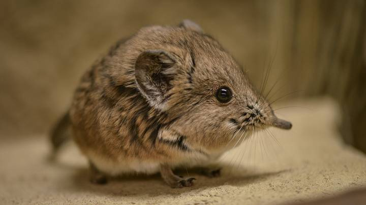 Elephant Shrew Redisovered In Africa After 50 Years