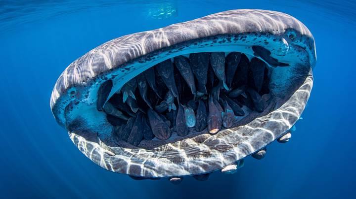 Award-Winning Photo Shows Whale Shark's Mouth Filled With Shoal Of Fish