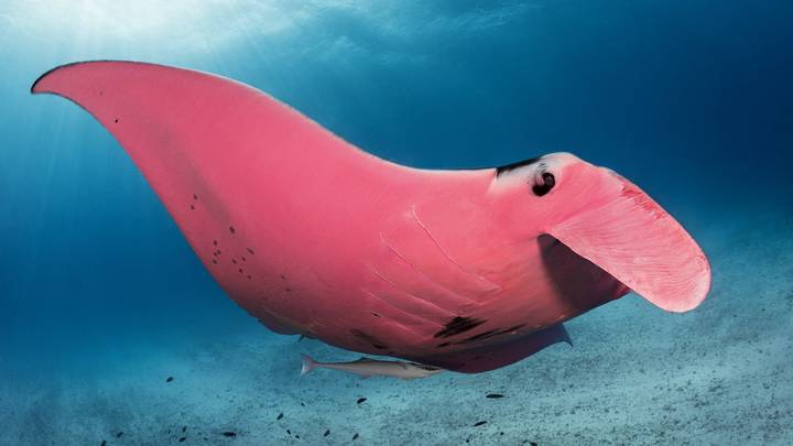 Photographer Captures Beautiful Snaps Of World's Only Pink Manta Ray