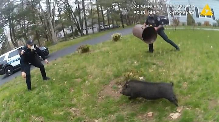 Police Officers Chase Escaped Pig Around A Garden For 45 Minutes