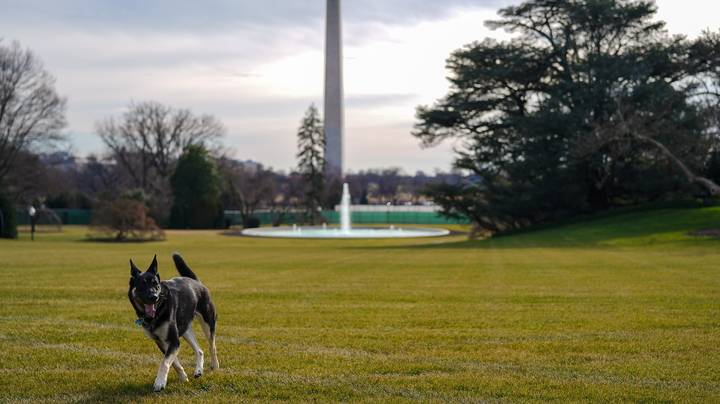 President Biden's Dogs Champ And Major Arrive At White House
