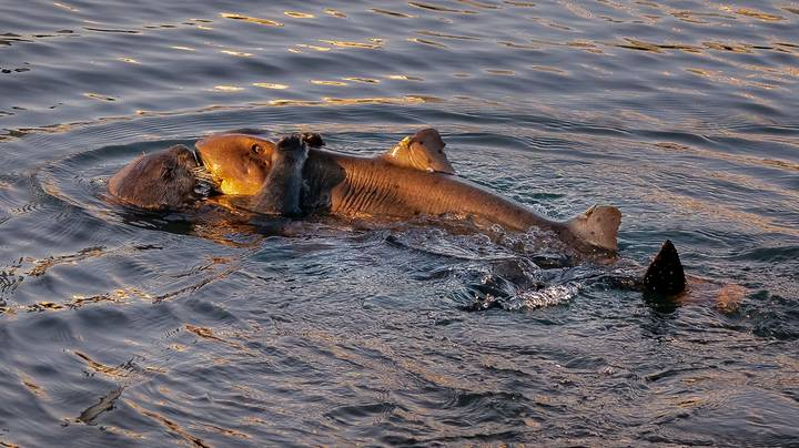 Sea Otter Turns Nature On Its Head By Eating A Shark In 'First Of Its Kind Encounter'