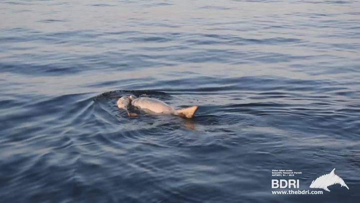 Dolphin Seen Pushing Her Dead Calf In Silence After Not Eating For Five Days