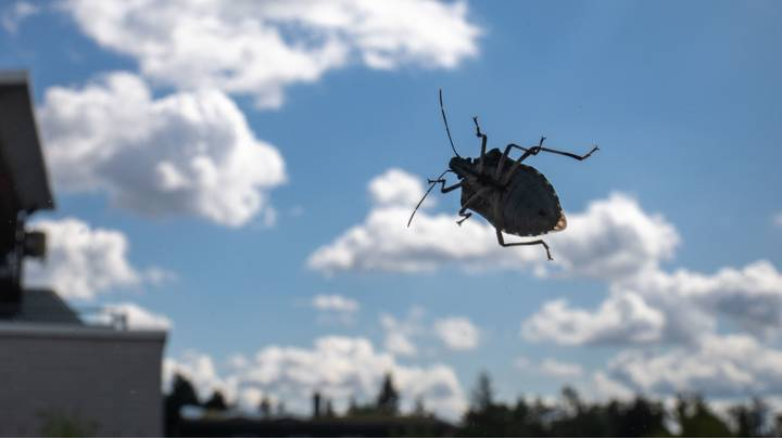 East Asian Stink Bug That Destroys Fruit Discovered Living In England