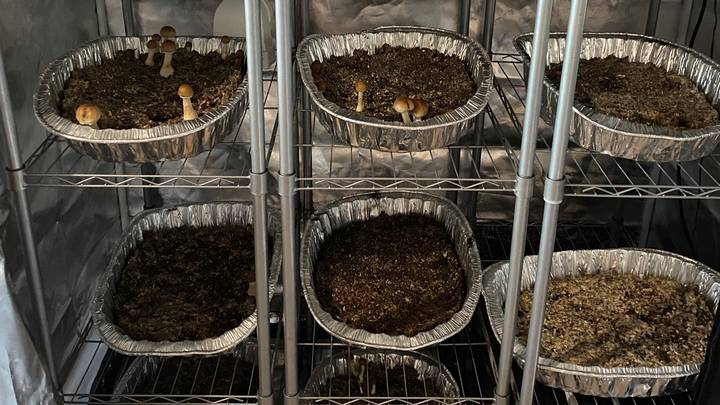 Police Bust First Magic Mushroom Factory Found In UK For More Than 20 Years