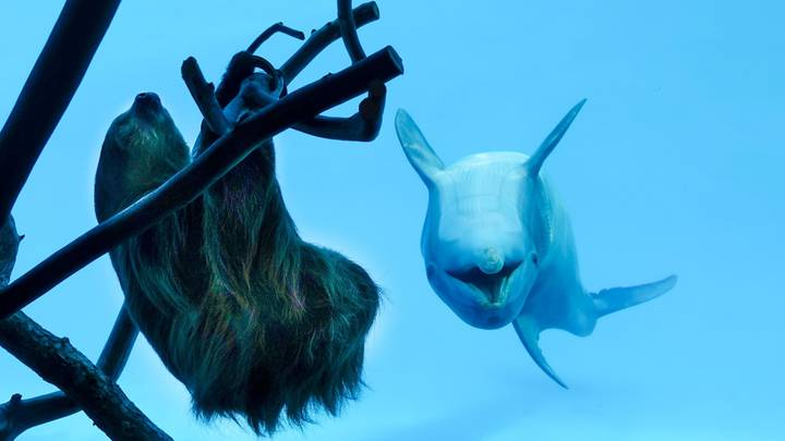 Dolphins Get Very Excited When A Sloth Is Placed Outside Their Enclosure
