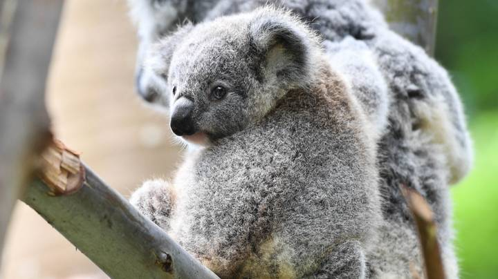 ​One Third Of Koalas In New South Wales Believed To Be Killed By Australian Bushfires