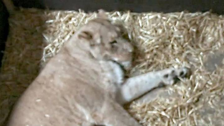 Lioness Kills And Eats Her Two Newborn Cubs Leaving Zoo Staff Horrified