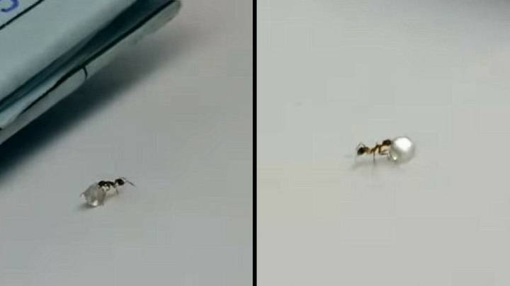 Footage Shows Tiny Ant Stealing Precious Diamond From Jewellery Shop