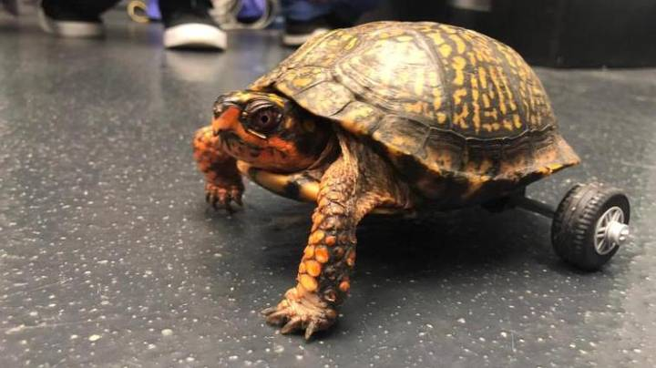 Vets Build Lego Wheelchair For Turtle Who Lost His Back Legs