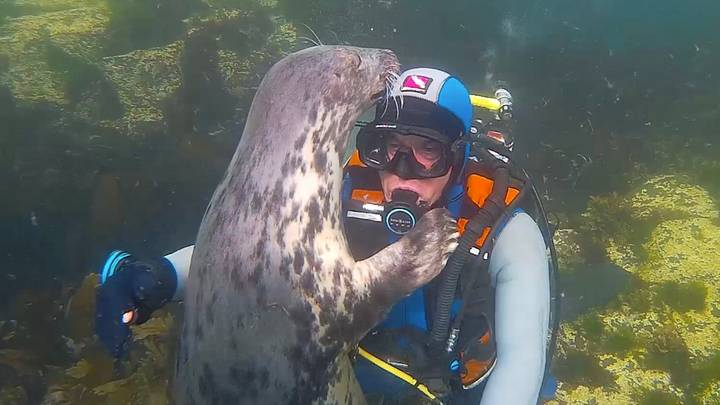 Wild Grey Seal Gives Hug To Diving Doctor Under The Sea