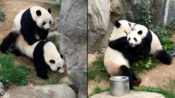 Two Giant Pandas Have Finally Mated For The First Time In 10 Years