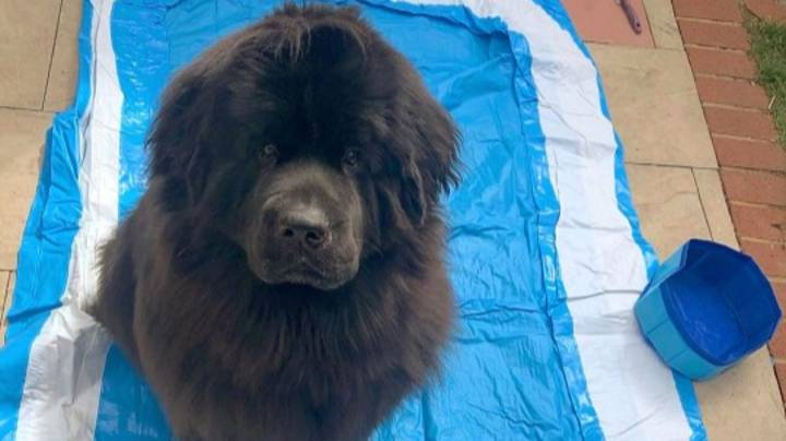 Dog Disappointed When 'Doggy Pool' Her Owner Ordered Arrives The Size Of Water Bowl