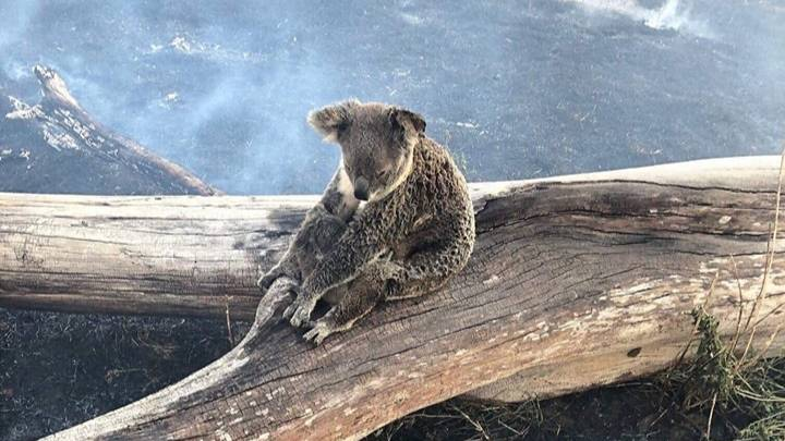 ​Koala Tries To Protect Her Baby From Bushfires In Australia