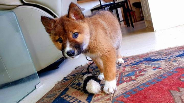 Cute Puppy Found In Woman's Garden Turns Out To Be Rare Dingo