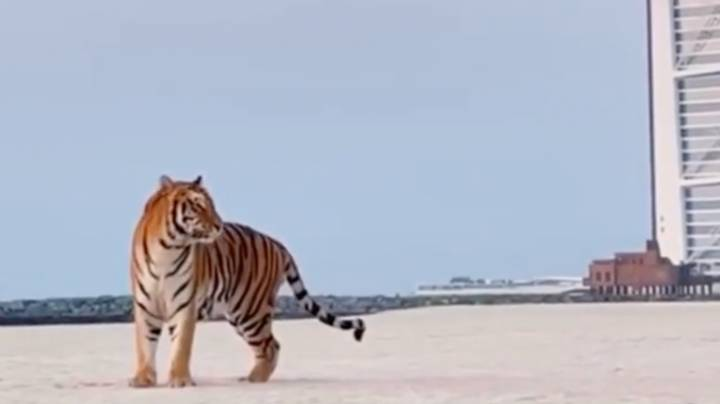 People Furious Over Tiger Being Used For Gender Reveal In Dubai