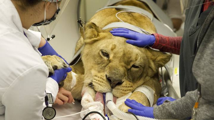 Lioness Rescued From Joe Exotic's Zoo Undergoes Surgery