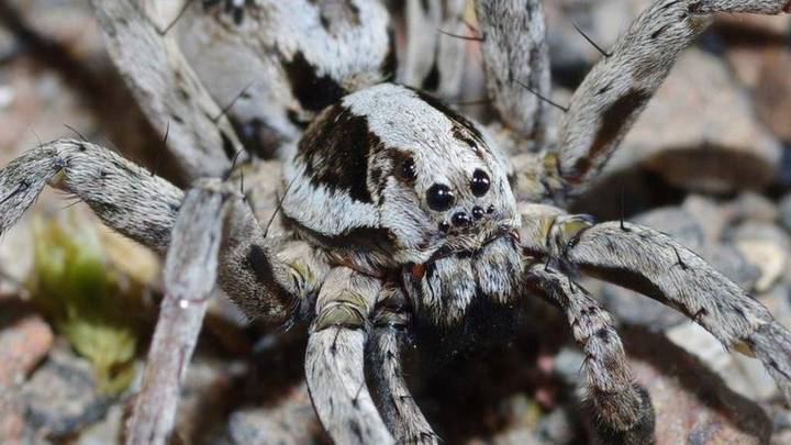 Rare Great Fox-Spider Discovered In UK For The First Time Since 1990s