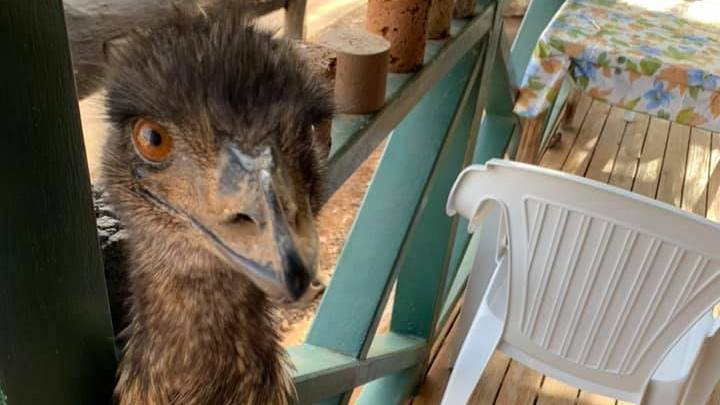 Two Emus Banned From Queensland Pub Over Bad Behaviour