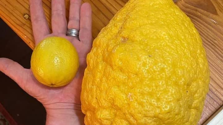 Locals Grow 2.6kg Monster Lemon In West Australia